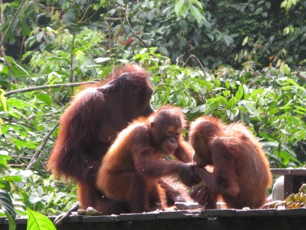 Up Close and Personal with Orangutans in Borneo