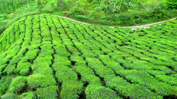 Tea Time in Malaysia's Cameron Highlands