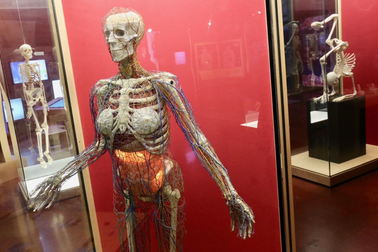 Gemütlich Menschliche Anatomie Museum Bilder - Anatomie Von ...
