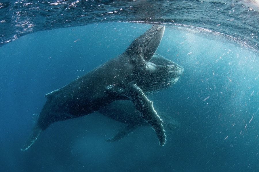 Swim underwater with Humpback whales in Netflix's Our Planet nature docuseries.