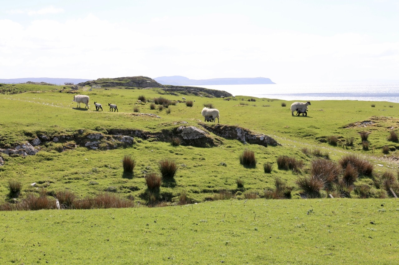 Sheep farms can be found dotted across the island.